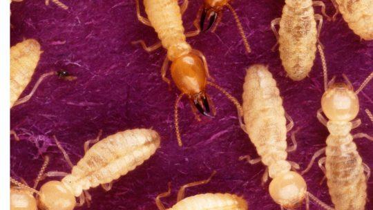 Trouver un professionnel pour se débarasser des termites